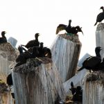 cormorantnests