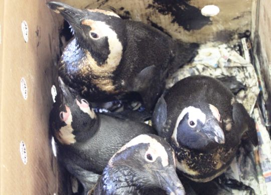 Oiled African penguins in box_SANCCOB PE