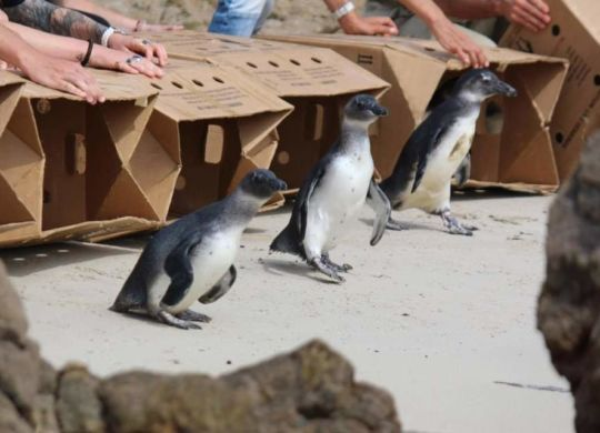 Penguin Release from boxes